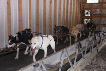 Howling Dog Sleddog Summer Training 1 0