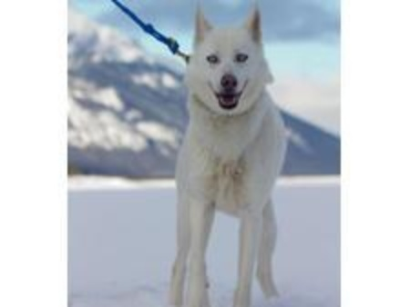 Aca Howling Dog Tours Canmore Sleddog