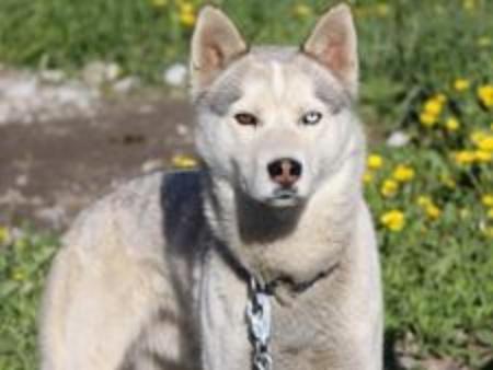 Kimo Howling Dog Tours Canmore Sleddog