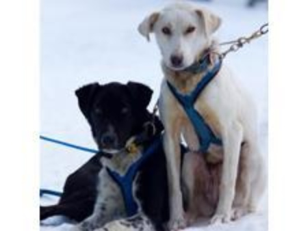 Penrod And Monday Howling Dog Tours Canmore Sleddogs