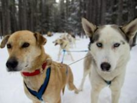 Wicked And Chase Howling Dog Tours Canmore Sleddogs